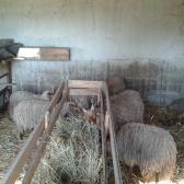 racka juhok lakmároznak